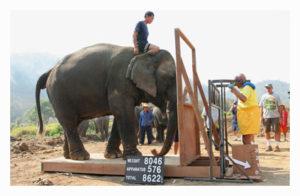 Soulevé d'un éléphant avec une plateforme